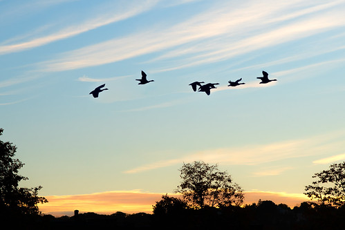 migratory migration geese canadiangeese brantacanadensis sky sunrise morning d500 nikon nikond500 nikkor morningflight birds animals flock skein plump clouds worcester massachusetts silhouette