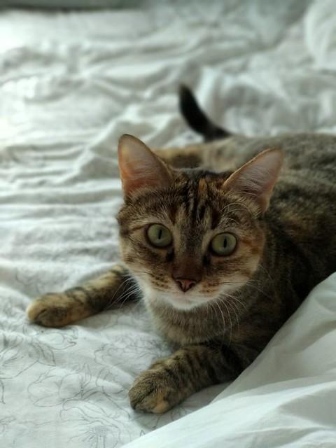 Rita, gatita parda con toques rubios dulzona y buena esterilizada, nacida en Enero´18 esterilizada, en adopción. Valencia. 48950949233_356595b487_z
