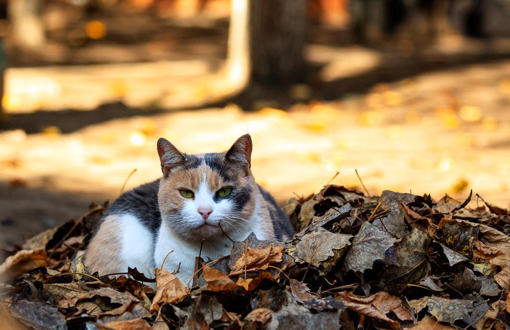 cat_three-colored