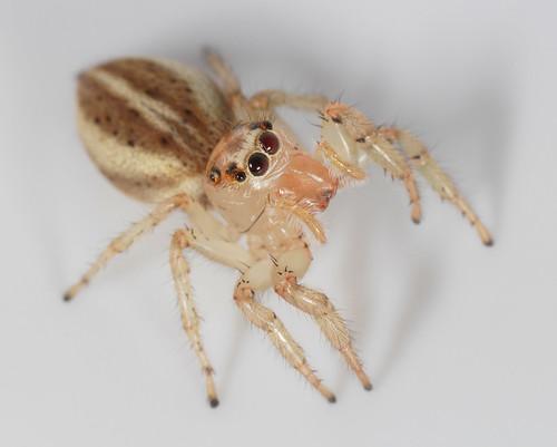 arthropoda arachnida araneae salticidae colonus colonussylvanus spider jumpingspider northcarolina piedmont enoriver canonmpe65mmf2815xmacrophoto arachtober inaturalist