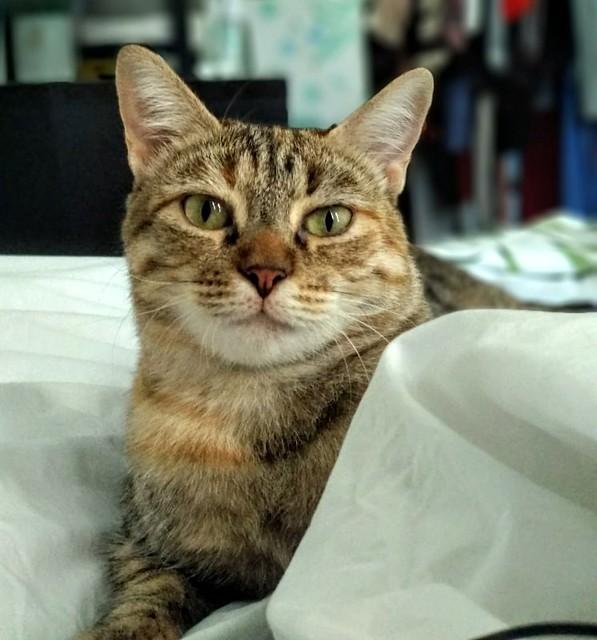 Rita, gatita parda con toques rubios dulzona y buena esterilizada, nacida en Enero´18 esterilizada, en adopción. Valencia. 48951493111_6440aeefd5_z