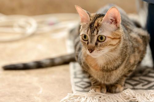 Rita, gatita parda con toques rubios dulzona y buena esterilizada, nacida en Enero´18 esterilizada, en adopción. Valencia. 48951497061_51874b85ea