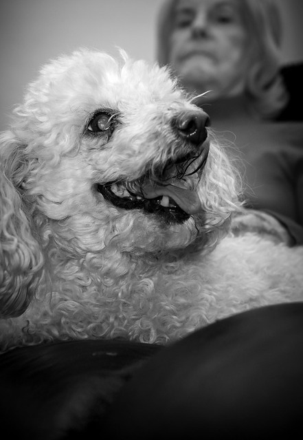 Holly the Toy Poodle.