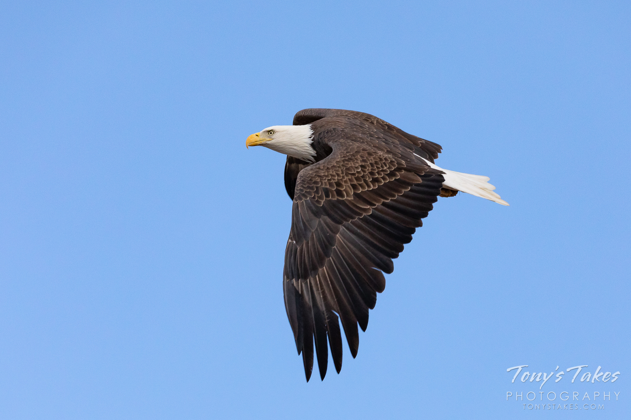 A bald eagle performs a flyby. (© Tony's Takes)