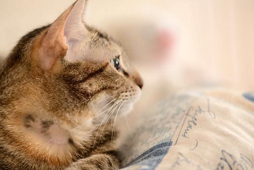 Rita, gatita parda con toques rubios dulzona y buena esterilizada, nacida en Enero´18 esterilizada, en adopción. Valencia. 48951695217_31c48f590c
