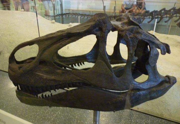 Allosaurus fragilis 48951857142_2db7a08eab_o
