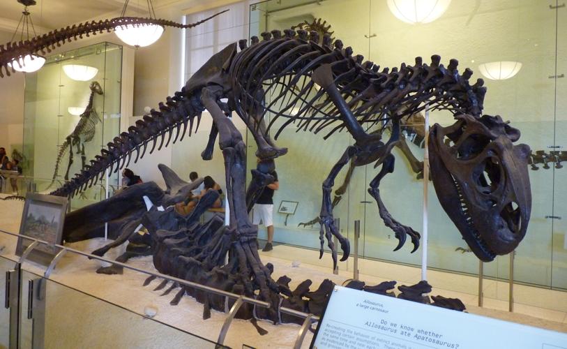 Allosaurus fragilis 48951857527_4034e13397_o