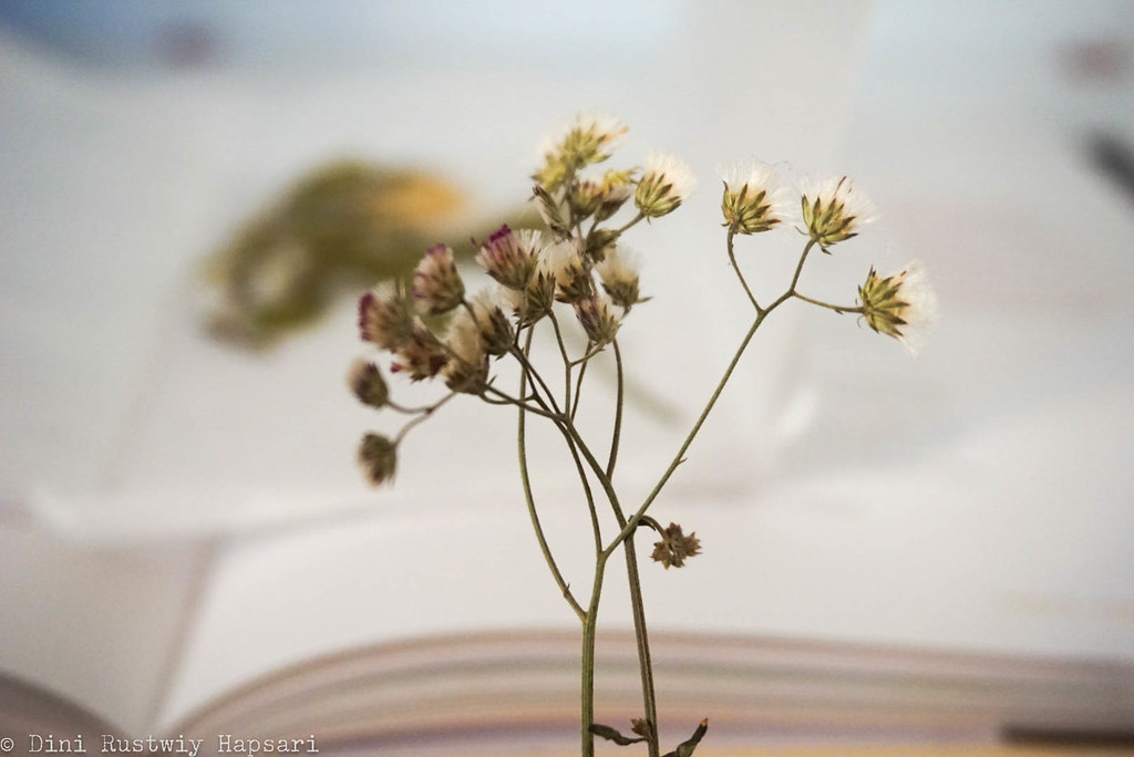 dried flower - press 3