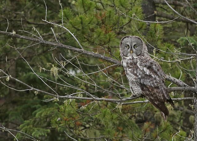 Great Gray Owl...#66