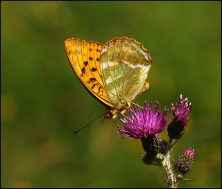 Male Silver-washed Fritillary - nectaring on thistles III