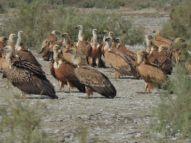 Griffon Vultures in Sindh, Pakistan