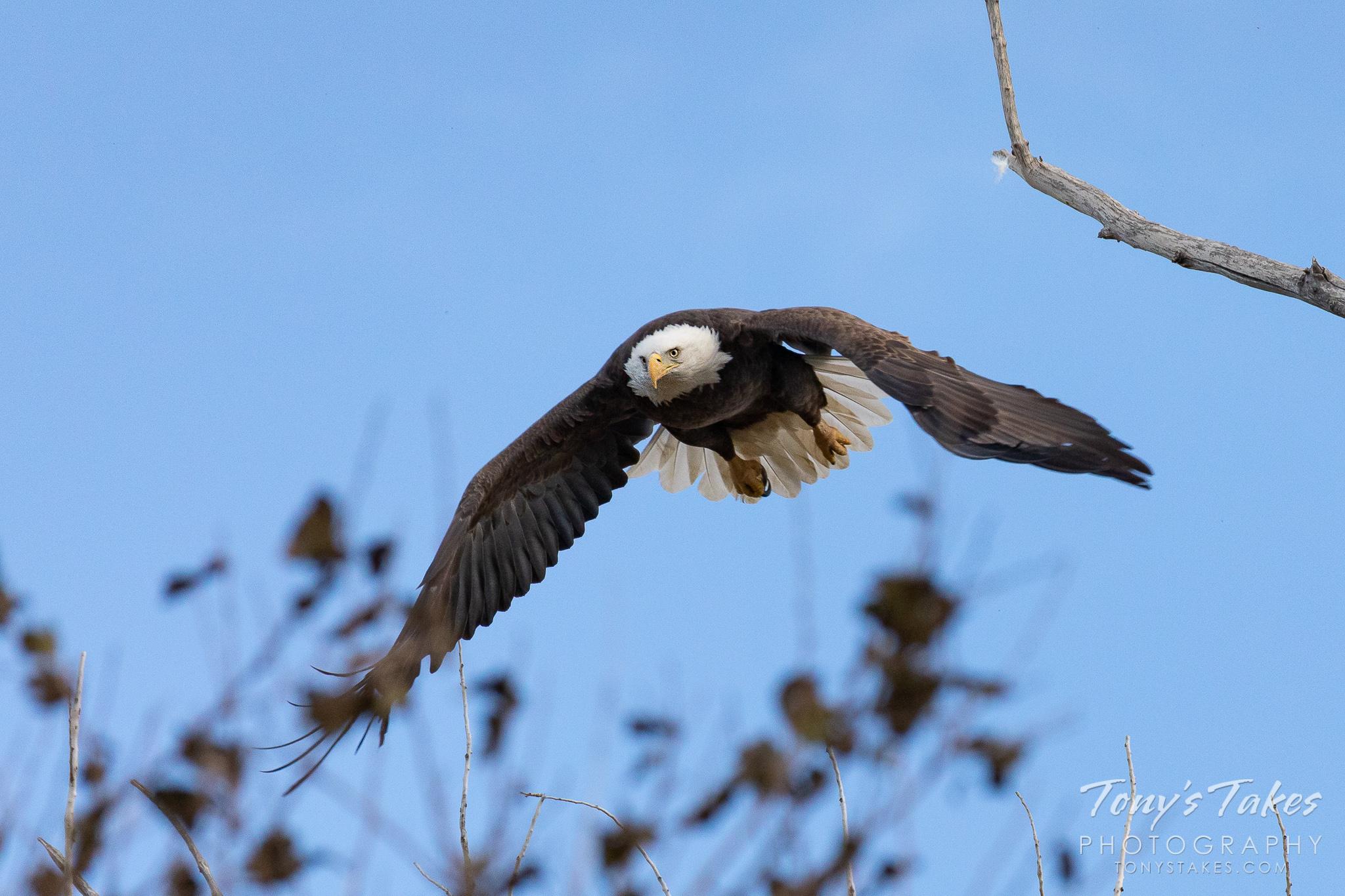 A bald eagle takes to the skies. (© Tony's Takes)