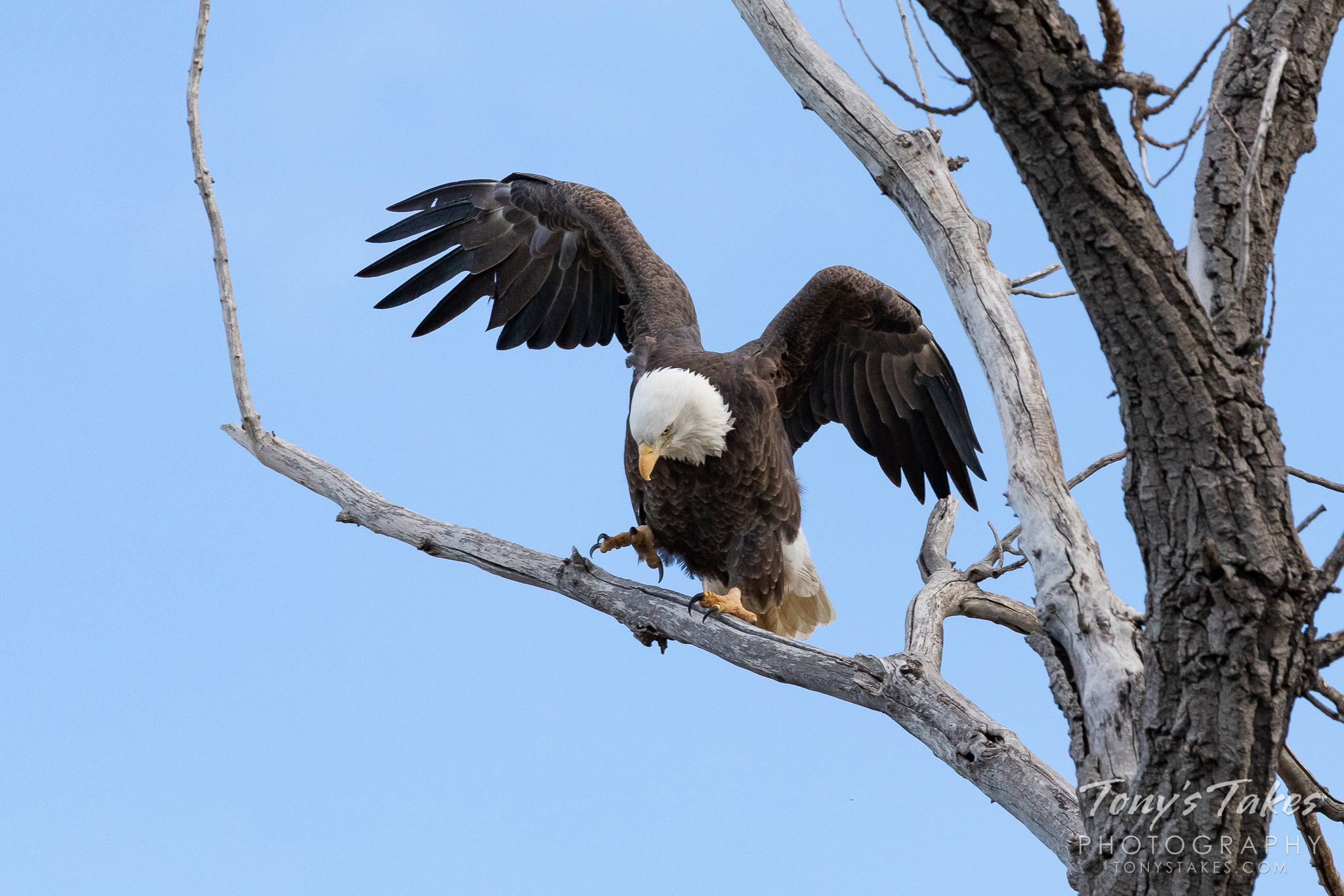 A bald eagle rearranges on its perch. (© Tony's Takes)