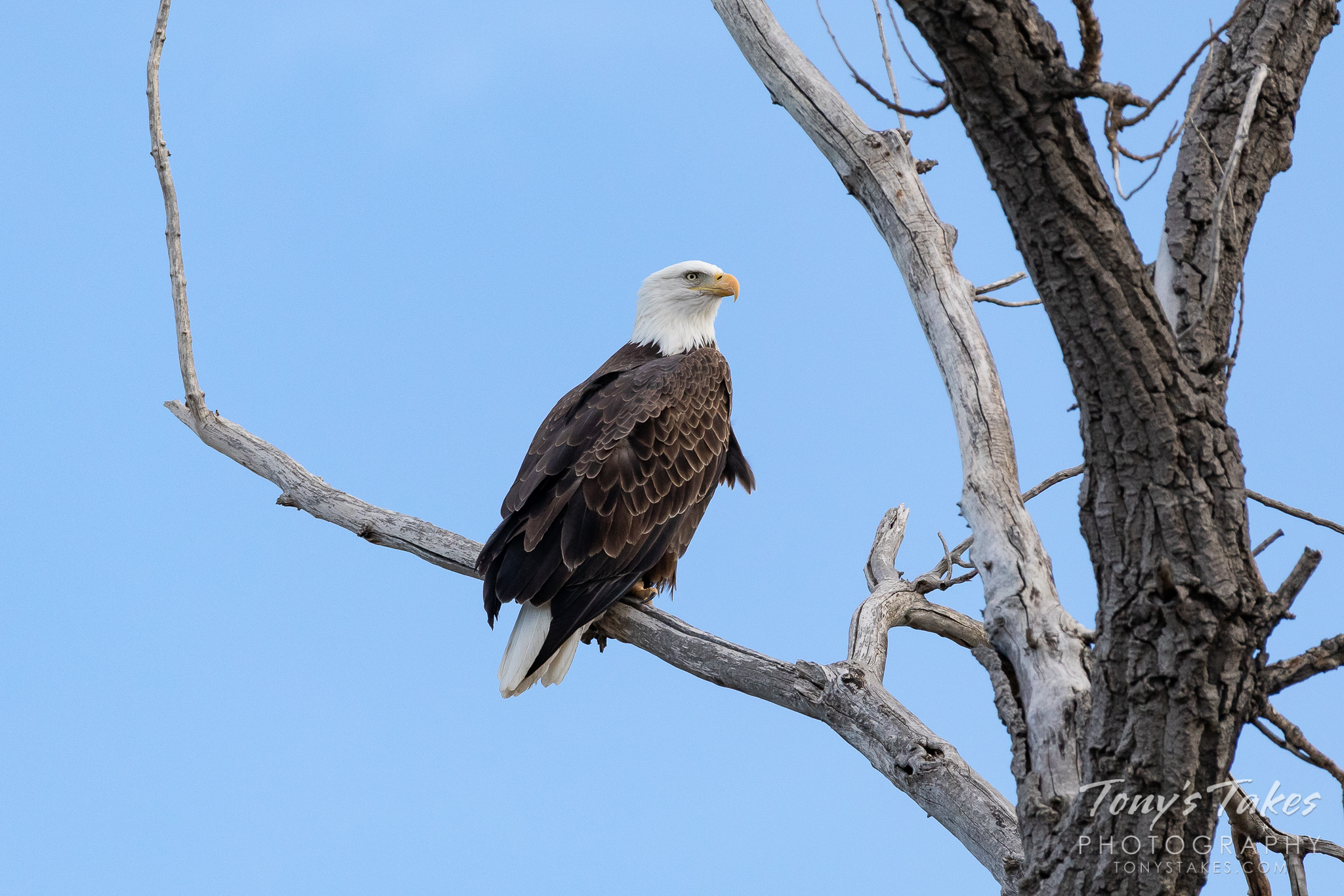 A bald eagle hangs out near the South Platte River in Adams County, Colorado. (© Tony's Takes)