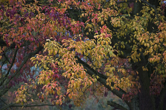 Farbenpracht eines Birnbaums - Colourfulness of a pear tree