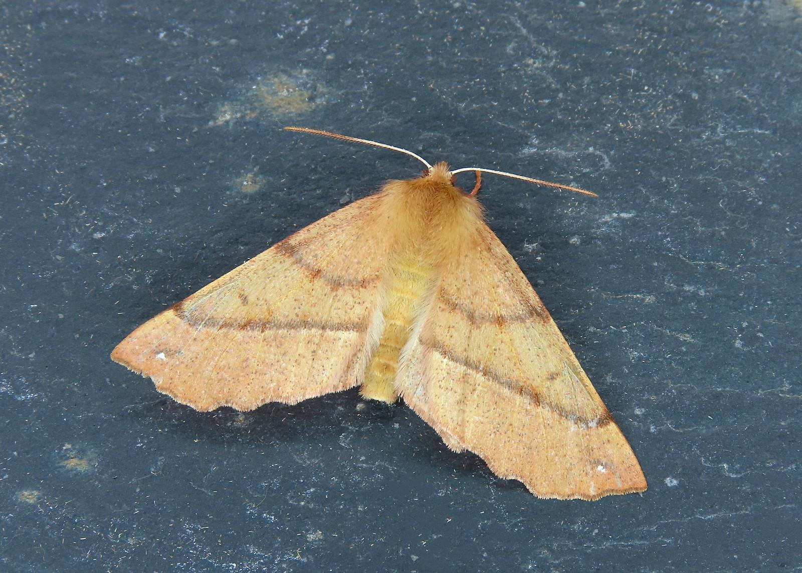 70.244 Feathered Thorn - Colotois pennaria
