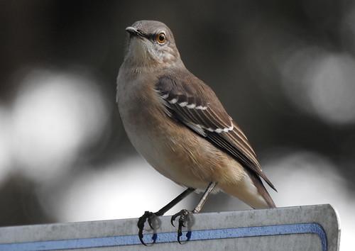 mockingbird northernmockingbird animal bird nature wildlife