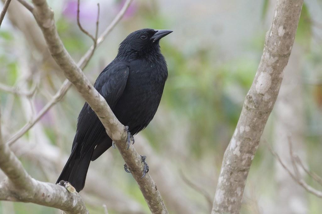 Chopi Blackbird (Gnorimopsar chopi), Serra da Canastra, Minas Gerais, Brazil