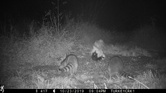 Striped Skunk & Common Raccoon