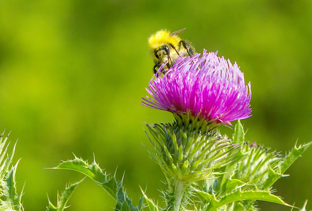 Thistle with Bee on Flower 12