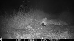 Striped Skunk & Common Raccoon