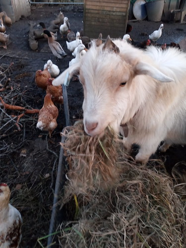 goat eating hay Oct 19
