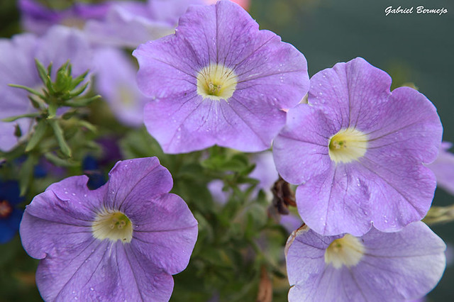 Petunias color pastel - Suiza
