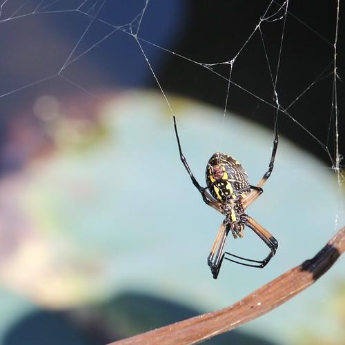 argiopeaurantia blackandyellowgardenspider spider spidersilk web arachtober