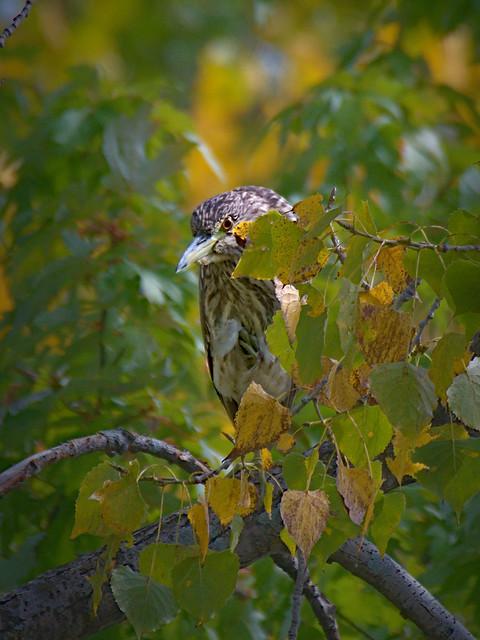 Bihoreau gris juvénile  --- black-crowned night heron --- Martinete común joven