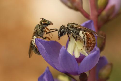 Lasioglossum bee sends a smaller bee packing