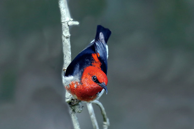 Scarlet Myzomela (Honeyeater)