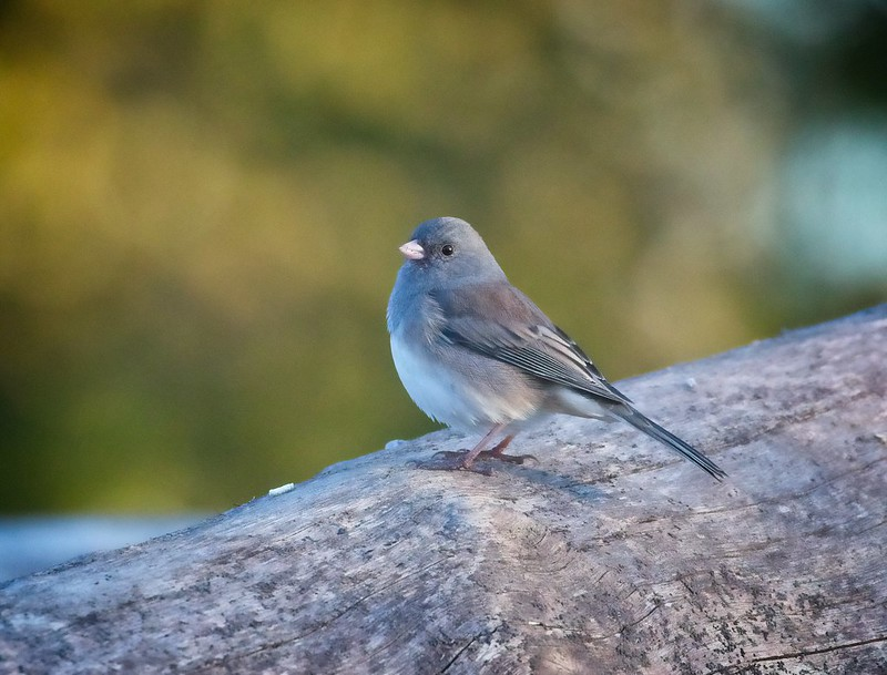 Dark-eyed Junco in Central Park