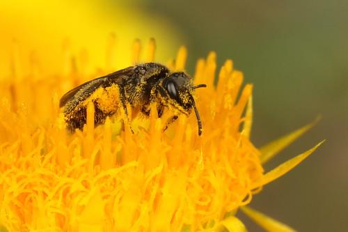 Lasioglossum bee