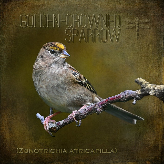golden-crowned sparrow (Zonotrichia atricapilla) . . .
