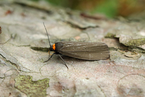 72.042 Red-necked Footman (Atolmis rubricollis), Tentsmuir, Fife