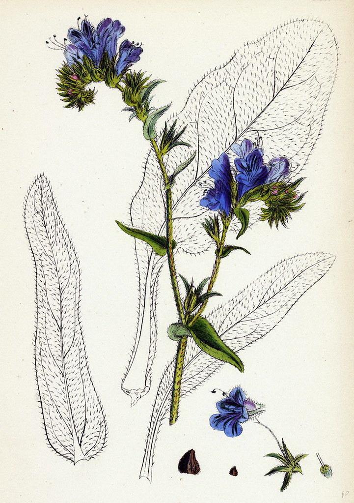 6_Echium plantagineum