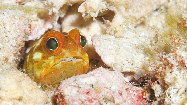 イエロージョー幼魚ちゃん、どんどんオレンジからブラウンに変色してきてる。。