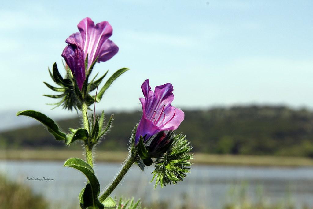 3_Echium plantagineum