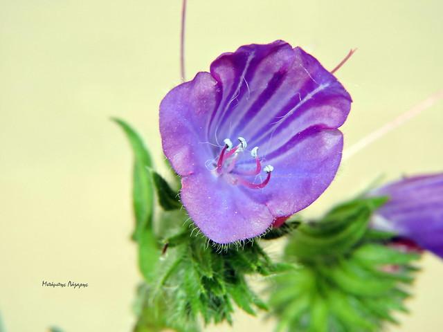 2_Echium plantagineum