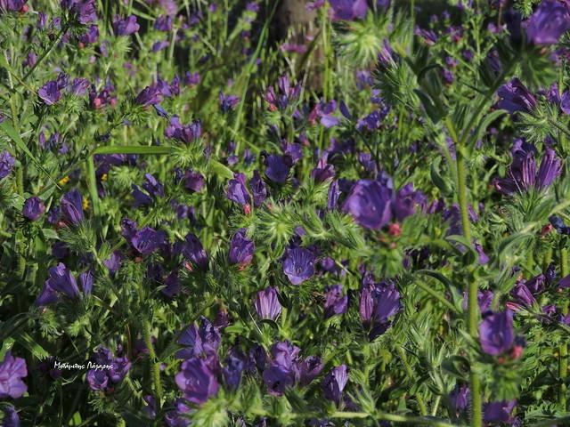 1_Echium plantagineum