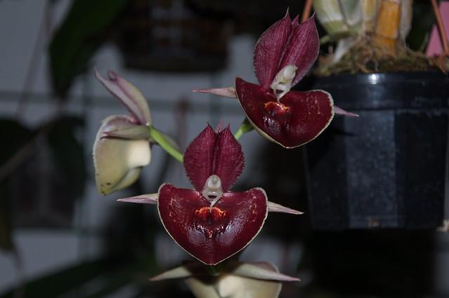 Catasetum Orchidglade