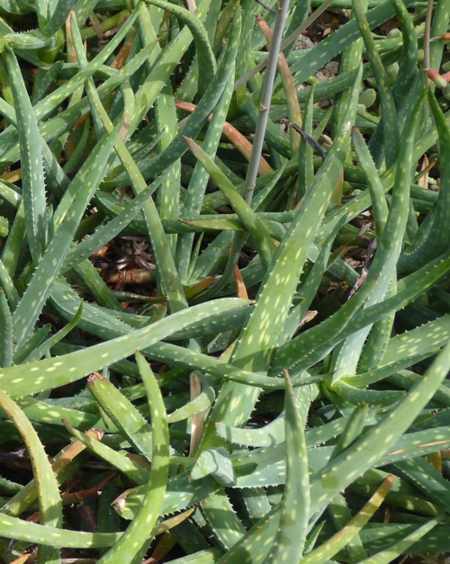 Aloe jacksonii 48957179392_7f90f62d44_o