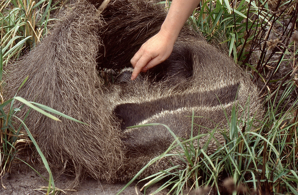 Giant Anteaters (Myrmecophaga tridactyla) female and young sleeping in the grass ...