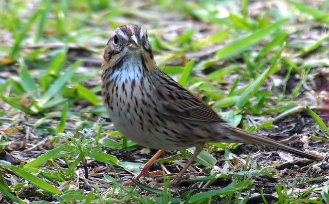 Lincoln's Sparrow Face Shot