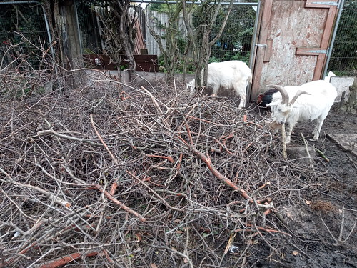 goats eating branches Oct 19