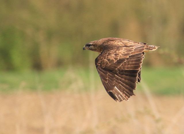 Buse variable - Grandcour/Vaud/CH_20190418_002-1