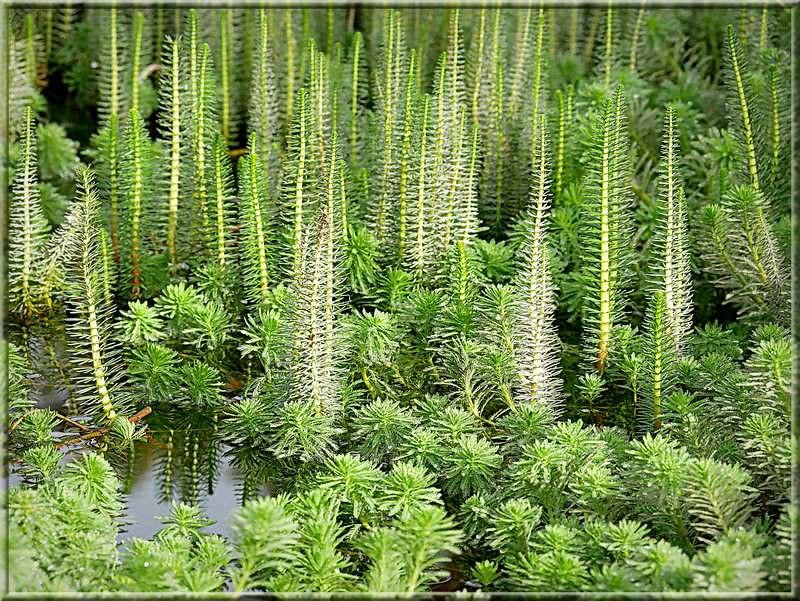 Myriophyllum aquaticum 48958902433_cd6b7e4dbb_c