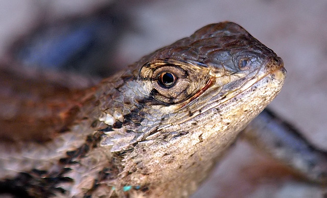 Texas Spiny Lizard Portrait