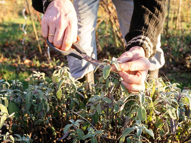 Harvesting sage leaves