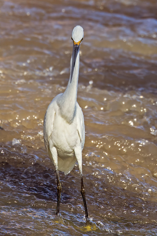 Snowy-Egret-18-7D2-100919